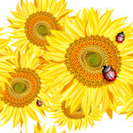 Sunflowers and ladybugs vector